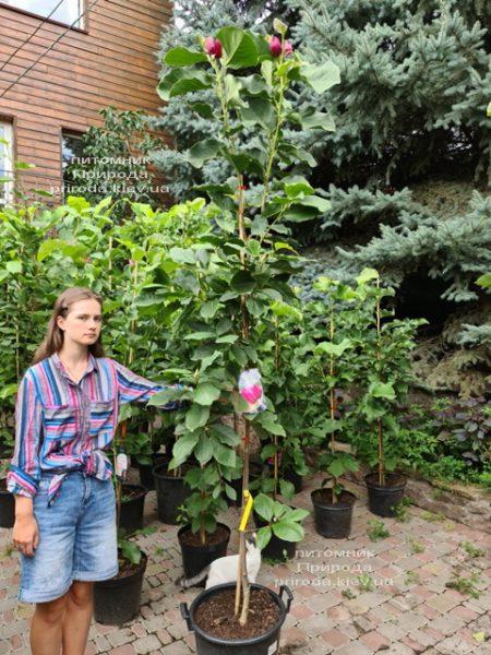 Магнолія Афродіта (Magnolia Aphrodite) ФОТО Розплідник рослин Природа (6)
