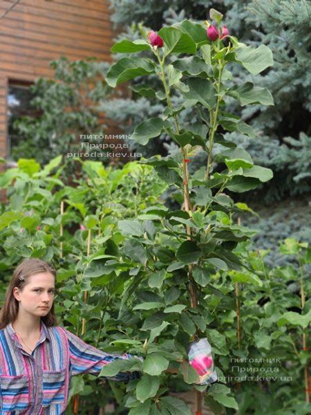 Магнолія Афродіта (Magnolia Aphrodite) ФОТО Розплідник рослин Природа (7)