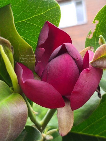 Магнолія Афродіта (Magnolia Aphrodite) ФОТО Розплідник рослин Природа (9)