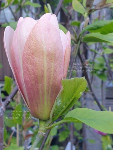 Магнолія Корал-Лейк (Magnolia Coral Lake) ФОТО Розплідник рослин Природа (1)