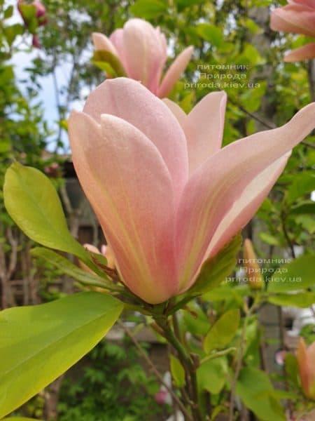 Магнолія Корал-Лейк (Magnolia Coral Lake) ФОТО Розплідник рослин Природа (3)