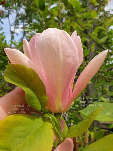 Магнолія Корал-Лейк (Magnolia Coral Lake) ФОТО Розплідник рослин Природа (4)