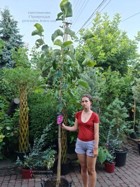 Магнолія Фелікс (Magnolia Felix Jury) ФОТО Розплідник рослин Природа (10)