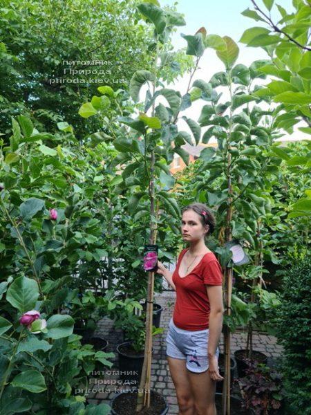 Магнолія Фелікс (Magnolia Felix Jury) ФОТО Розплідник рослин Природа (6)