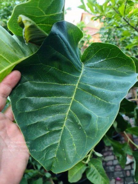 Магнолія Фелікс (Magnolia Felix Jury) ФОТО Розплідник рослин Природа (8)