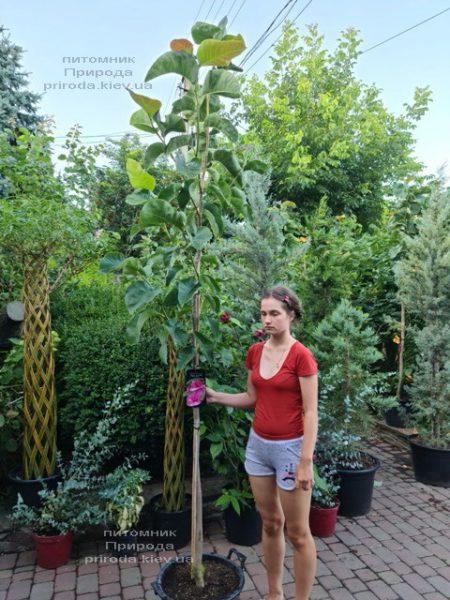 Магнолія Фелікс (Magnolia Felix Jury) ФОТО Розплідник рослин Природа (9)