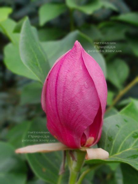 Магнолія Ред ес Ред (Magnolia Red as Red) ФОТО Розплідник рослин Природа (1)