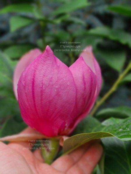 Магнолія Ред ес Ред (Magnolia Red as Red) ФОТО Розплідник рослин Природа (5)