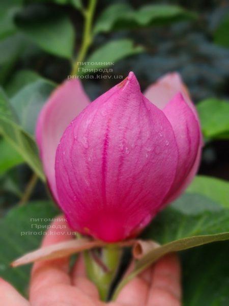 Магнолія Ред ес Ред (Magnolia Red as Red) ФОТО Розплідник рослин Природа (7)