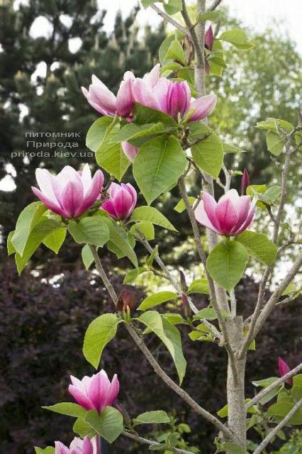 Магнолия Роза Мэри (Magnolia Rose Marie) ФОТО Питомник растений Природа (1)