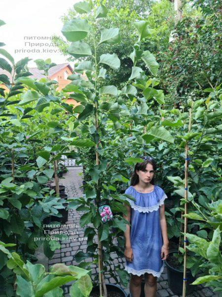 Магнолия Роза Мэри (Magnolia Rose Marie) ФОТО Питомник растений Природа (4)