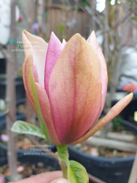 Магнолія Роял Спленда (Magnolia Royal Splendor) ФОТО Розплідник рослин Природа (1)
