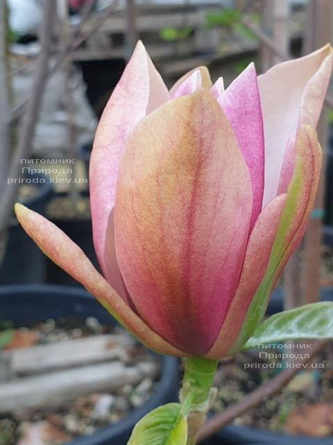 Магнолія Роял Спленда (Magnolia Royal Splendor) ФОТО Розплідник рослин Природа (2)