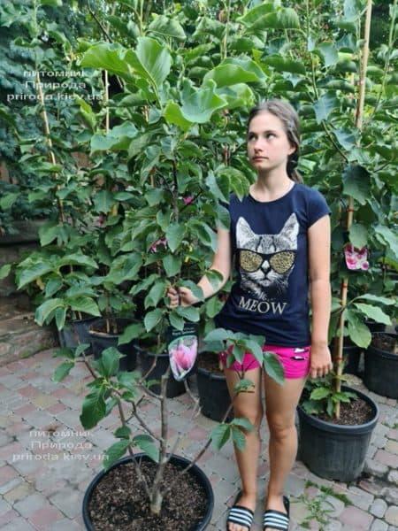Магнолія Роял Спленда (Magnolia Royal Splendor) ФОТО Розплідник рослин Природа (3)