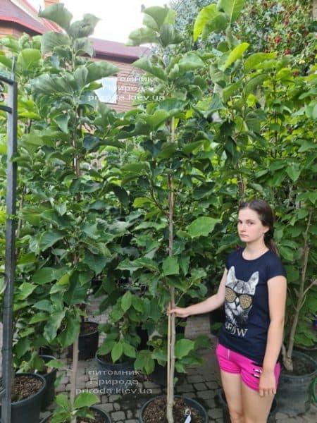 Магнолия Сенсация (Maqnolia Sunsation) ФОТО Питомник растений Природа (30)