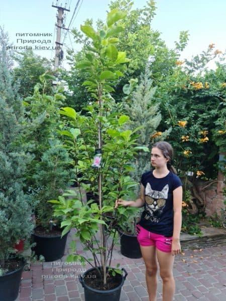 Магнолія Сентінел (Magnolia Sentinel) ФОТО Розплідник рослин Природа (1)