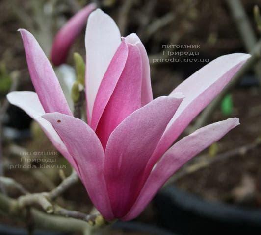 Магнолія Сентінел (Magnolia Sentinel) ФОТО Розплідник рослин Природа