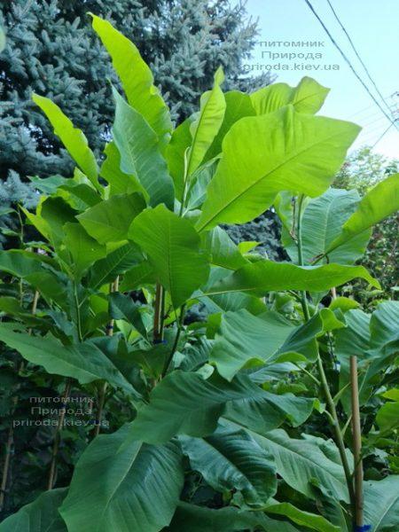 Магнолія трьохлепестна (Magnolia tripetala) ФОТО Розплідник рослин Природа (10)