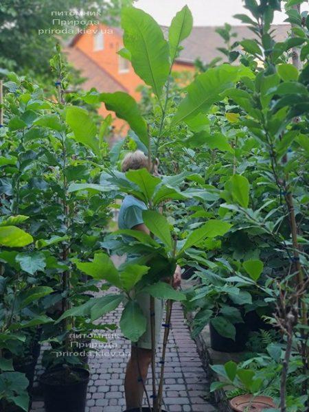 Магнолія трьохлепестна (Magnolia tripetala) ФОТО Розплідник рослин Природа (3)