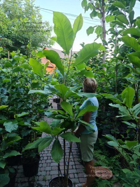 Магнолія трьохлепестна (Magnolia tripetala) ФОТО Розплідник рослин Природа (4)