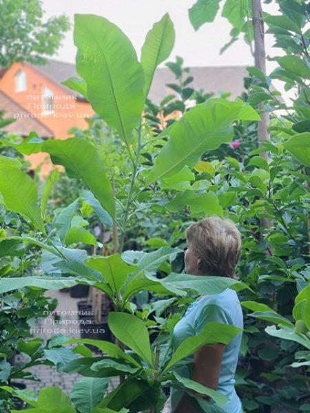 Магнолія трёхлепестная (Magnolia tripetala) ФОТО Розплідник рослин Природа (5)