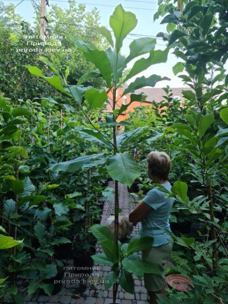 Магнолія трёхлепестная (Magnolia tripetala) ФОТО Розплідник рослин Природа (6)