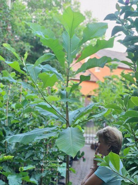 Магнолія трьохлепестна (Magnolia tripetala) ФОТО Розплідник рослин Природа (7)