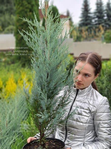 Можжевельник скальный Мунглов (Juniperus scopolorum Moonglow) ФОТО Питомник растений Природа (25)