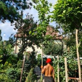 Платан кленолистий іспанська (Platanus hispanica acerifolia) ФОТО Розплідник рослин Природа