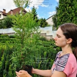 Туя западная Брабант (Thuja occidentalis Brabant) ФОТО Питомник растений Природа (83)