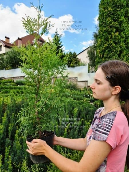 Туя західна Брабант (Thuja occidentalis Brabant) ФОТО Розплідник рослин Природа (83)