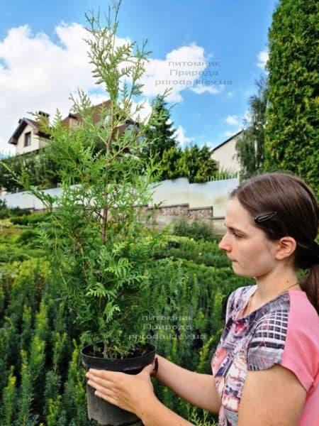 Туя західна Брабант (Thuja occidentalis Brabant) ФОТО Розплідник рослин Природа (84)