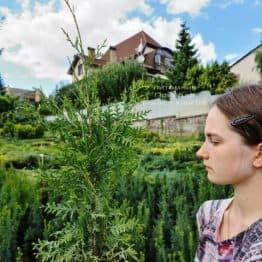 Туя западная Брабант (Thuja occidentalis Brabant) ФОТО Питомник растений Природа (86)