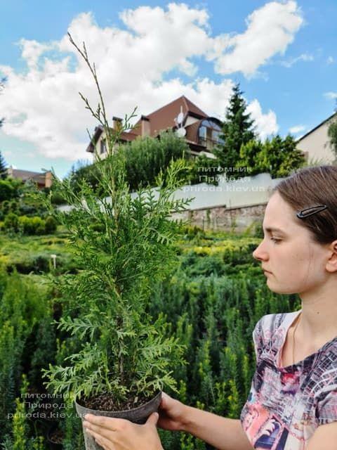 Туя західна Брабант (Thuja occidentalis Brabant) ФОТО Розплідник рослин Природа (86)