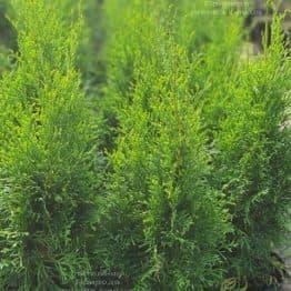 Туя западная Смарагд (Thuja occidentalis Smaragd) ФОТО Питомник растений Природа (121)