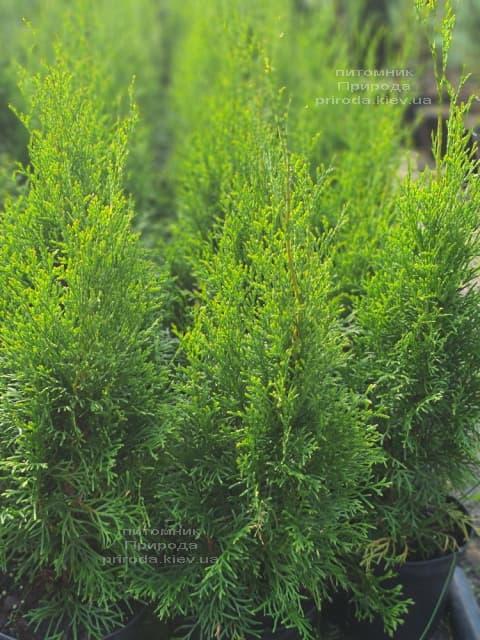 Туя західна Смарагд (Thuja occidentalis Smaragd) ФОТО Розплідник рослин Природа (121)