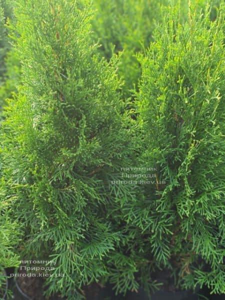 Туя західна Смарагд (Thuja occidentalis Smaragd) ФОТО Розплідник рослин Природа (122)