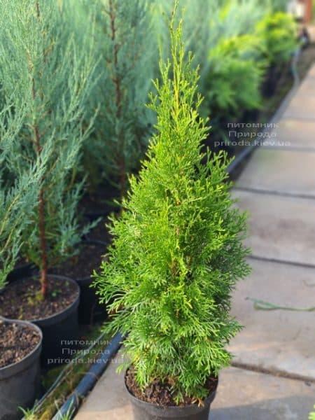 Туя західна Смарагд (Thuja occidentalis Smaragd) ФОТО Розплідник рослин Природа (123)