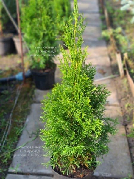 Туя западная Смарагд (Thuja occidentalis Smaragd) ФОТО Питомник растений Природа (124)