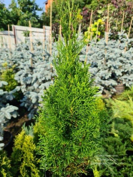 Туя западная Смарагд (Thuja occidentalis Smaragd) ФОТО Питомник растений Природа (125)