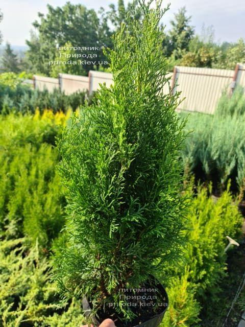 Туя западная Смарагд (Thuja occidentalis Smaragd) ФОТО Питомник растений Природа (126)
