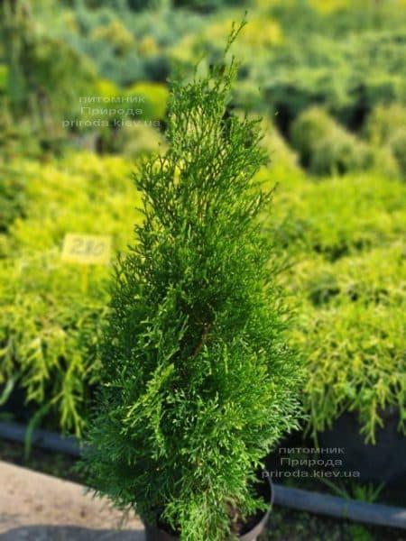 Туя западная Смарагд (Thuja occidentalis Smaragd) ФОТО Питомник растений Природа )128)