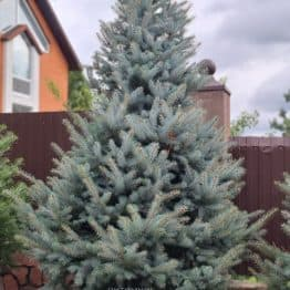 Ель голубая Блю Даймонд (Picea pungens Blue Diamond) ФОТО Питомник растений Природа (44)