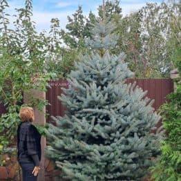 Ель голубая Блю Даймонд (Picea pungens Blue Diamond) ФОТО Питомник растений Природа (46)