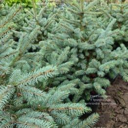 Ель голубая Супер Блю Сидлингс (Picea pungens Super Blue Seedlings) ФОТО Питомник растений Природа (4)