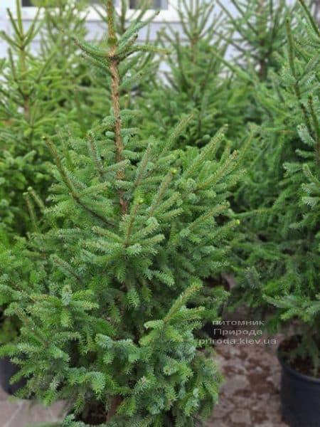 Ялина Сербська (Picea omorica) ФОТО Розплідник рослин Природа (19)