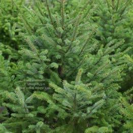 Ель Сербская (Picea omorica) ФОТО Питомник растений Природа (20)