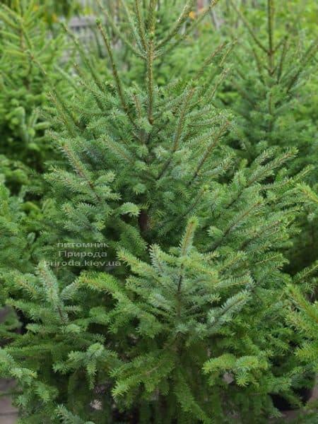 Ялина Сербська (Picea omorica) ФОТО Розплідник рослин Природа (20)