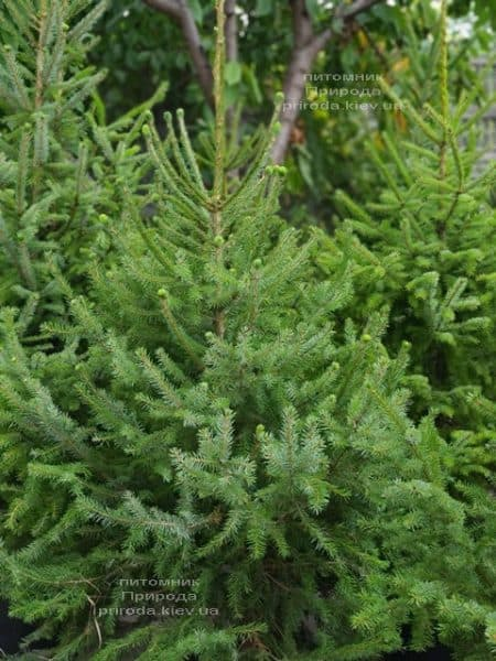 Ялина Сербська (Picea omorica) ФОТО Розплідник рослин Природа (21)