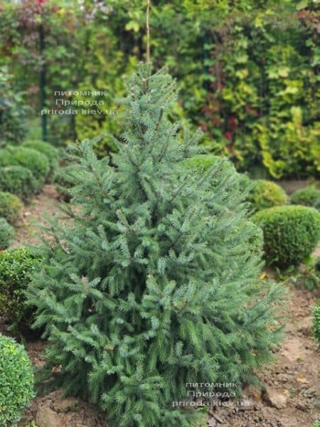 Ялина Сербська (Picea omorica) ФОТО Розплідник рослин Природа (22)